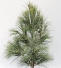Kleine Tränenkiefer Densa Hill 100-125cm - Pinus wallichiana