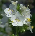 Weiße Himmelsleiter - großer Topf - Polemonium caeruleum