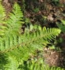 Weicher Schildfarn Dahlem - großer Topf - Polystichum setiferum