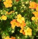 10x Kleiner Spierstrauch Bella Sol - Potentilla fruticosa