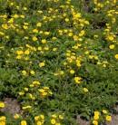 10x Kleiner Spierstrauch Citrus Tart - Potentilla fruticosa