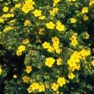 10x Fünffingerstrauch Darts Golddigger - Potentilla fruticosa