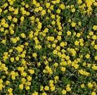 Frühlingsfingerkraut - großer Topf - Potentilla neumanniana