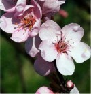 Hochstamm Eßbare Blutpflaume 80-100cm - Prunus cerasifera