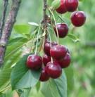 Sauerkirsche Schwäbische Weinweichsel 60-80cm - dunkelrote saure Früchte
