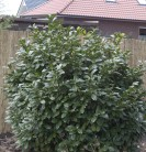 Kirschlorbeer Compact 40-60cm - Prunus laurocerasus