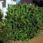 Kirschlorbeer Rotundifolia 30-40cm - Prunus laurocerasus