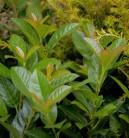 Lorbeerkirsche Titan® 40-60cm - Prunus laurocerasus