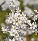Schwarzdorn 40-60cm - Prunus spinosa