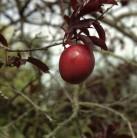 Hochstamm Großfrüchtige Blutpflaume 100-125cm - Prunus Trailblazer