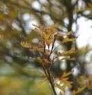 Kugel Sumpf Eiche Green Dwarf 50-60cm - Quercus palustris