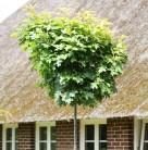 Hochstamm Kleinwüchsige Sumpfeiche 60-80cm - Quercus palustris