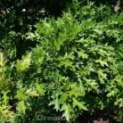 Hochstamm Kleinwüchsige Sumpfeiche Swamp Pygmy 125-150cm - Quercus palustris