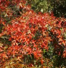 Rot Rindige Eiche Haaren 40-60cm - Quercus rubra