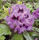 Großblumige Rhododendron Blaue Jungs 50-60cm - Alpenrose