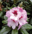 Großblumige Rhododendron Cassata 50-60cm - Alpenrose