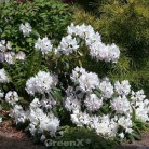 Großblumige Rhododendron Catawbiense Alba 40-50cm - Alpenrose