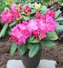 INKARHO - Großblumige Rhododendron Germania 40-50cm - Alpenrose