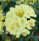 INKARHO - Großblumige Rhododendron Goldkrone 30-40cm - Alpenrose
