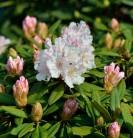 Großblumige Rhododendron Jackson 60-70cm - Alpenrose