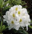 Großblumige Rhododendron Madame Masson 60-70cm - Alpenrose
