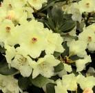 Hochstamm Rhododendron Flava 80-100cm - Alpenrose