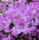 Rhododendron Azurella 20-25cm - Rhododendron calostrotum