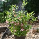 Azalee Corneille 40-50cm - Rhododendron luteum - Alpenrose