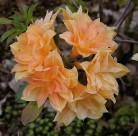 Azalee Csardas 30-40cm - Rhododendron luteum - Alpenrose