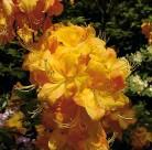 Azalee Klondyke 50-60cm - Rhododendron luteum - Alpenrose