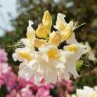 Azalee Mount Rainer 40-50cm - Rhododendron luteum - Alpenrose