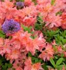 Azalee Pink Delight 40-50cm - Rhododendron luteum