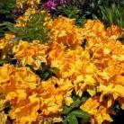 Azalee Windsor Sunbeam 70-80cm - Rhododendron luteum - Alpenrose