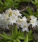 Sommergrüne Azalee Schneeköpfchen 40-50cm - Rhododendron mixtum