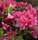 Japanische Azalee Tornella 30-40cm - Rhododendron obtusum - Zwerg Alpenrose