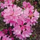 Hochstamm Rhododendron Graziella 60-80cm - Rhododendron ponticum