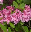Belgische Azalee Aida 30-40cm - Rhododendron rustica