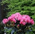 Hochstamm Rhododendron Clivia 60-80cm - Rhododendron williamsianum