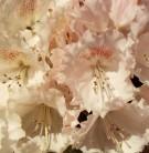 Hochstamm Rhododendron Heinjes Zauberflöte 60-80cm - Alpenrose