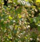 Schwarze Johannisbeere Silvergieters Schwarze 30-40cm - Ribes nigrum
