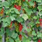 Rote Johannisbeere Rovada 30-40cm - Ribes rubrum
