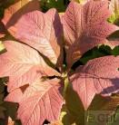 Fiederblättriges Schaublatt Chocolate Wings - großer Topf - Rodgersia pinnata