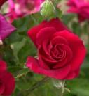 Hochstamm Rose Mandy 40-60cm