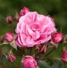 Hochstamm Rose Moin Moin 80-100cm