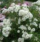 Hochstamm Rose Weisse Wolke 80-100cm