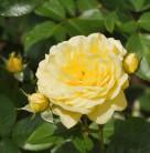 Hochstamm Rose Yellow Meilove 80-100cm