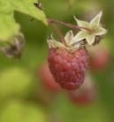 Himbeere Boheme - Rubus idaeus