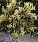 Hochstamm Kriechweide Voorthuizen 40-60cm - Salix repens