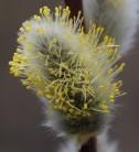 Hochstamm Hängeweide Nico 30-40cm - Salix caprea