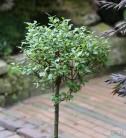 Hochstamm Spieß Weide Tobi 60-80cm - Salix hastata